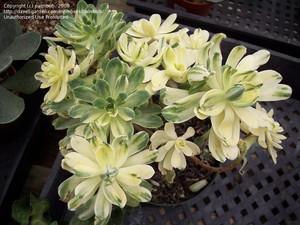 Цветные кактусы - это редкое явление в природе, и их появление человек никогда не пропускает, сохраняя цветные признаки на привое