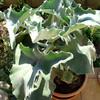 Каланхоэ Бехарское (Kalanchoe Beharensis) - фото и описание Слабо ветвящееся растение высотой до 20 см, листья крупные, треугольные, с волнистым краем, покрыты сероватым воско-видным налетом. Цветки мелкие, желтые. Распространена разновидность Aureo-aeneus с листьями, покрытыми красновато-коричневыми волосками.
