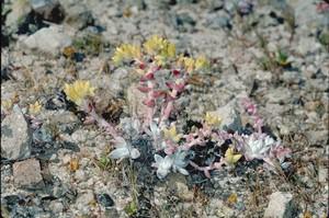 Дудлея Гнома (Dudleya Gnoma) - Фотографии    Листья узкие, почти цилиндрические, чуть заостренные, серо-зеленые с беловатым налетом. Собраны в розетки диаметром около 10 см. Каждое растение образует много дочерних розеток.