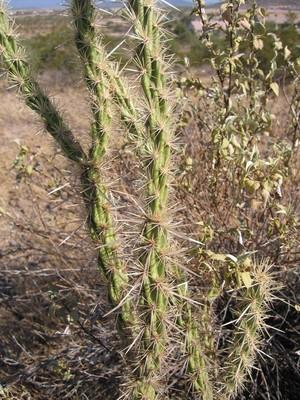 Опунция колючеплодная, Opuntia acanthocarpa