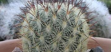 Маммиллярия солнышковая разновидность солнышкоподобная, Mammillaria microhelia Werderm