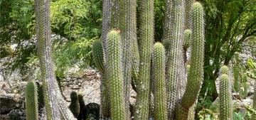 Кактус Эхинопсис чилийский - Echinopsis chiloensis, описание и фото
