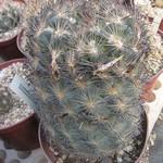 Эхиномастус дурангский — Echinomastus durangensis