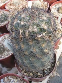 Кактус Эхиномастус дурангский - Echinomastus durangensis, описание и фото