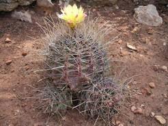 Кактус Ферокактус крючковатоколючковый - Ferocactus hamatacanthus, описание и фото