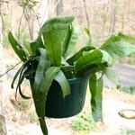 Дизокактус амазонский — Disocactus amazonicus