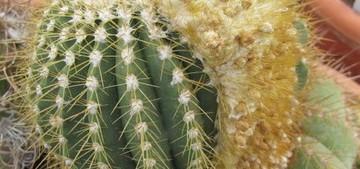 Колеоцефалоцереус короткоцилиндрический, Coleocephalocereus brevicylindrica, фото, цереус, кактус