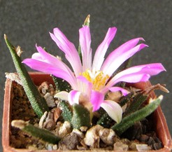 Ariocarpus-agavoides2