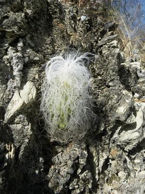 Кактус Цефалоцереус старческий - Cephalocereus senilis, описание и фото