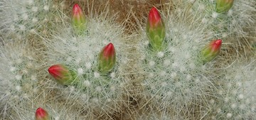 кактус Мамиллопсис старческий, Mamillopsis senilis