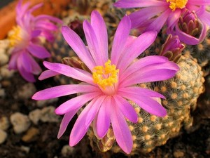 Маммиллярия Сабо, Mammillaria saboae