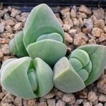 Гиббеум (Gibbaeum). Семейство Аизовые