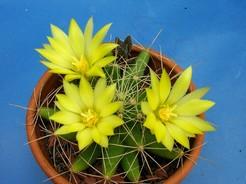 Маммиллярия длиннососочковая, кактус, Mammillaria longimamma