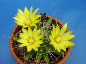 Маммиллярия длиннососочковая, кактус, Mammillaria longimamma, фото и описание кактуса