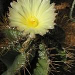 Астрофитум украшенный оголяющияся — Astrophytum ornatum subv. glabrescens