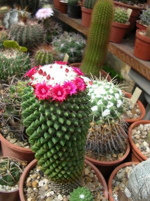 Маммиллярия родственная. Латинское название: Mammillaria affinis / polythele. Уход, описание и фотографии вида кактуса родственная