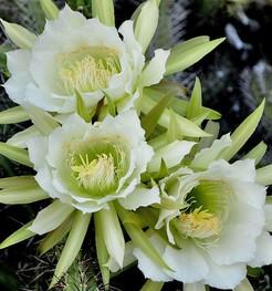 Кактус Эриоцереус поманский - Eriocereus pomanensis, описание и фото