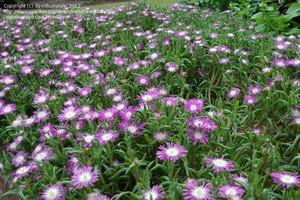 Делосперма Обильноцветущая (Delosperma Floribundum)     Растение высотой около 10 см. Разрастаясь, образует «подушки» диаметром до 25 см. Листья темно-зеленые длиной 2,5-5 см; цветки очень многочисленные, ярко-лиловые, диаметром около 3 см.