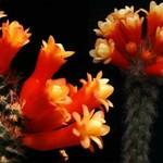 Аррожадоя многоцветковая — Arrojadoa multiflora