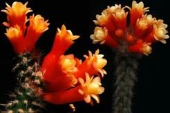 Arrojadoa_multiflora