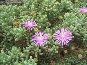 Дрозантемум обильноцветущий (Drosanthemum floribundum). Род Дрозантемум (Drosanthemum, семейство Аизовые) насчитывает около 100 видов, произрастающих в Южной и Юго-Западной Африке. Дрозантемумы - низкорослые растения с сочными ползучими стеблями.