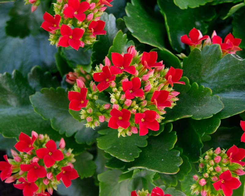 http://kaktus-world.ru/wp-content/uploads/2014/08/Kalanchoe-blossfeldiana1.jpg