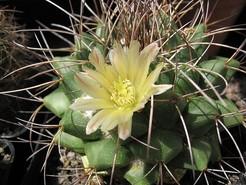 Маммиллярия Винтера, кактус, Mammillaria winterae