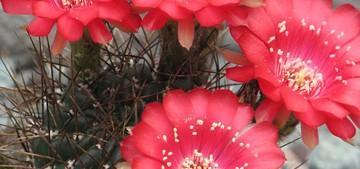 Кактус Эхинопсис - Echinopsis pentlandii, описание и фото