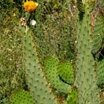 Опунция языковидная — Opuntia linguiformis