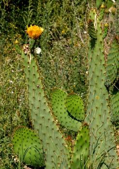 Опунция языковидная, Opuntia linguiformis
