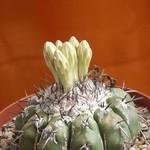 Дискокактус семиколючковый — Discocactus heptacanthus