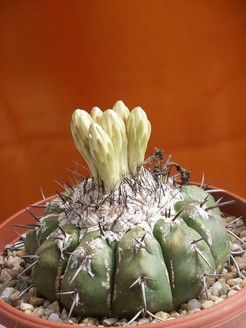 Discocactus heptacanthus2