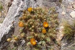 кактус Майуэниопсис Дарвина, Maihueniopsis darwinii