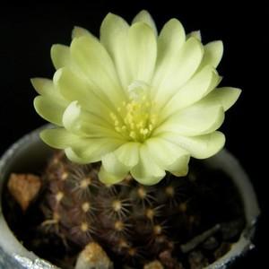 Кактус Frailea dadakii, описание и фото