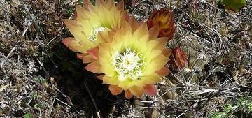 Кактус Эриосице - Eriosyce aspillagae, описание и фото