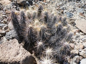 Кактус Эхиноцереус - Echinocereus brandegeei, описание и фото