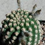 Пигмеоцереус — Pygmaeocereus bieblii