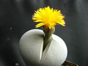 Динтерантус Пола Эванса (Dinteranthus Pole-Evansii) Растения этого вида редко образуют группы. Листья длиной около 4,5 см, сросшиеся до половины длины. Поверхность листьев морщинистая, серовато-голубая, часто желтоватая или красноватая. Цветки желтые, диаметром до 4 см.