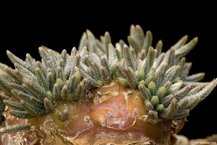 Суккулент Авония. Avonia quinaria ssp. alstonii