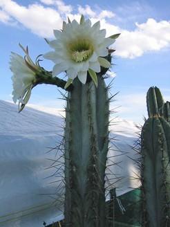 Кактус Стетсония - Stetsonia coryne, описание и фото