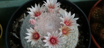 кактус Маммиллойдия белоснежная, Mammilloydia сandida