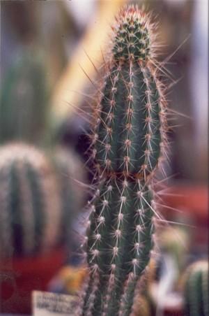 Armatocereus-arboreus