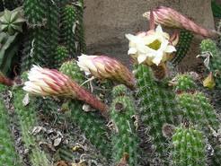Кактус Эхинопсис - Echinopsis thelegona, описание и фото