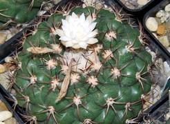 Discocactus-ferricola