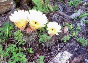 Кактус Frailea pumila, описание и фото