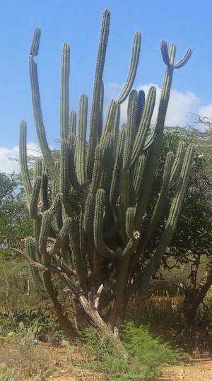 Стеноцереус / Ратбуния серая, Stenocereus griseus