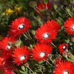 Дрозантемум (Drosanthemum). Семейство Аизовые