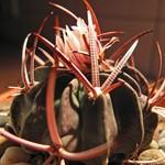 Эхинофоссулокактус прерывистореберный — Echinofossulocactus coptonogonus