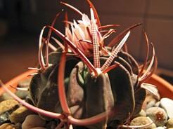 Кактус Эхинофоссулокактус прерывистореберный - Echinofossulocactus coptonogonus, описание и фото