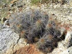 Кактус Эхиноцереус - Echinocereus barthelowanus, описание и фото